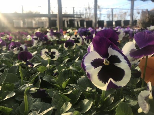 Pansies at City Floral Greenhouse North Patio