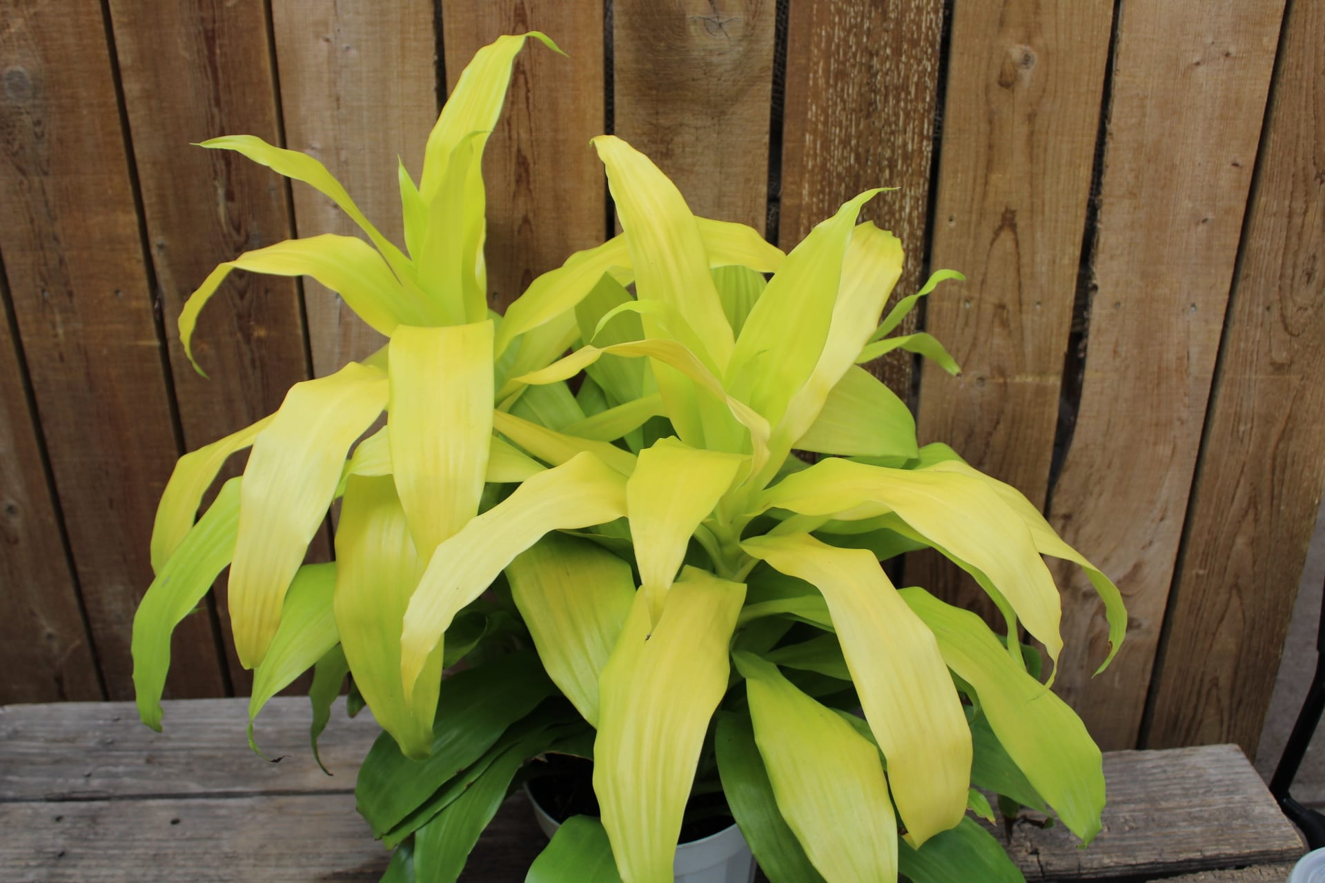 Limelight Dracaena at City Floral Greenhouse and Garden Center