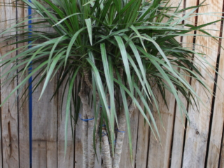 dracaena, houseplant, greenhouse, Denver