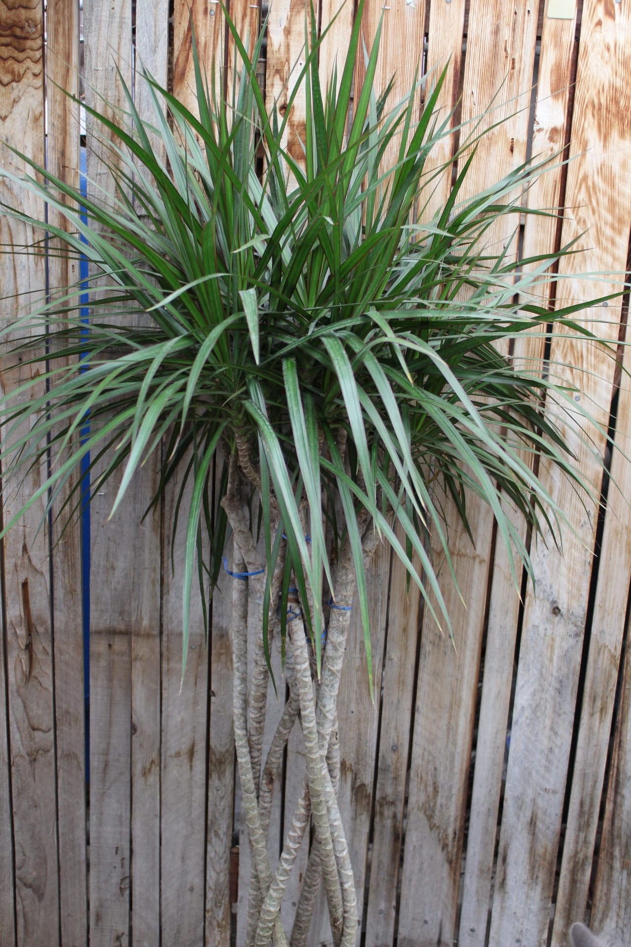 Dracaena Houseplant Greenhouse Denver Houseplants
