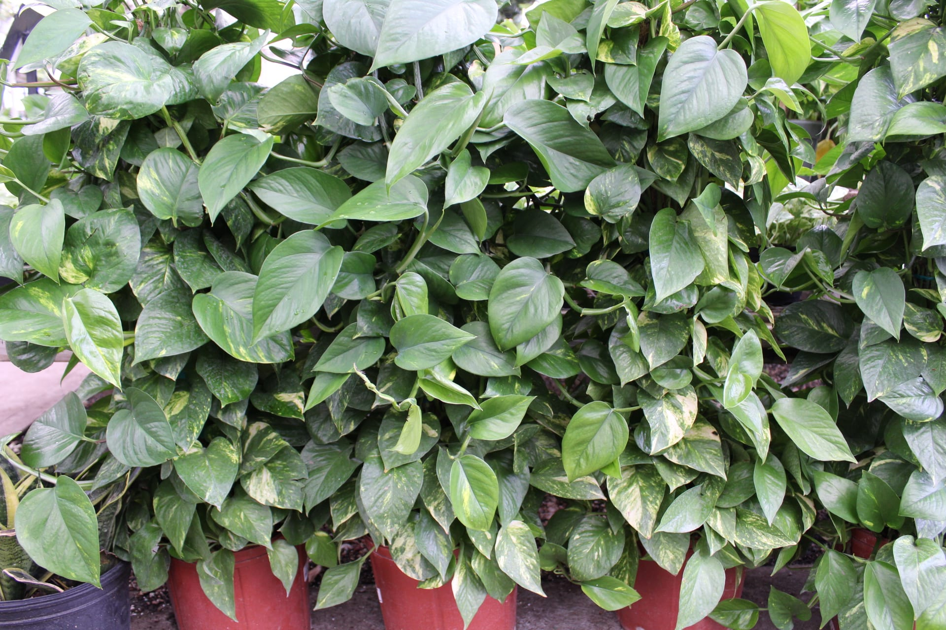 pothos, low light houseplants, houseplants