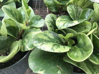 peperomia, house plants, greenhouse plants, Denver