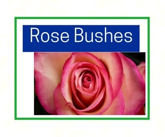 Rose Bushes at City Floral Greenhouse and Garden Center