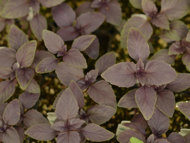 Purple Basil at City Floral Greenhouse and Garden Center