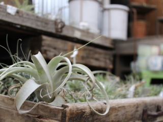 tillandsia at city floral greenhouse and garden center