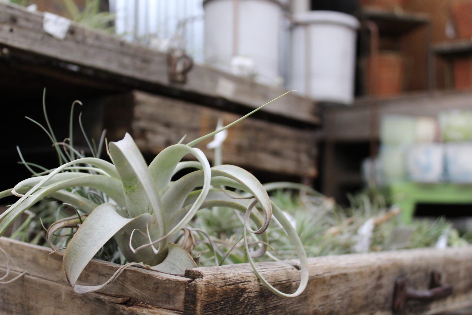 tillandsia at city floral greenhouse and garden center