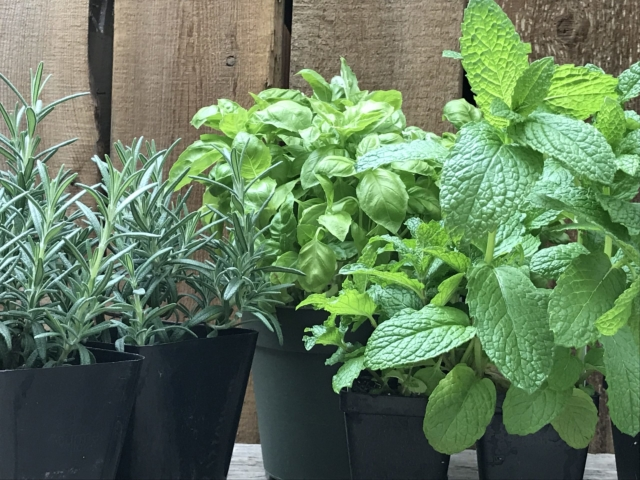 Rosemay, basil, and mint at City Floral Greenhouse and Garden Center