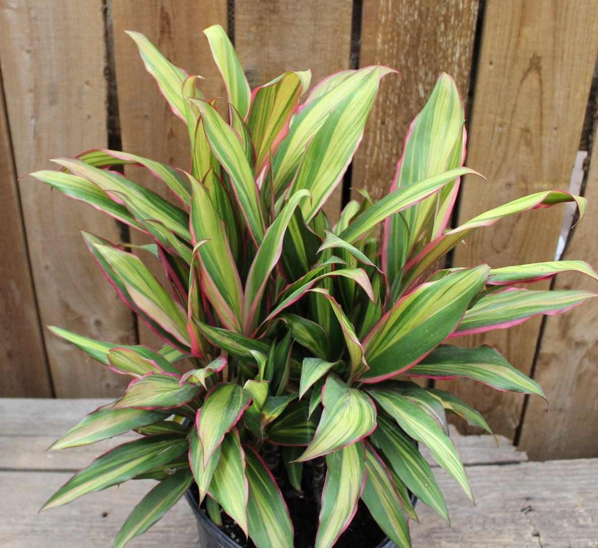 Kiwi Cordyline at City Floral Greenhouse and Garden Center