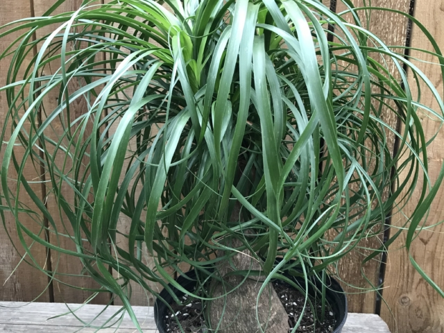Ponytail Palm at City Floral Greenhouse and Garden Center