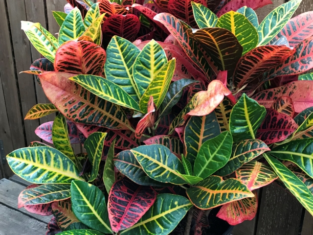 Croton at City Floral Greenhouse and Garden Center