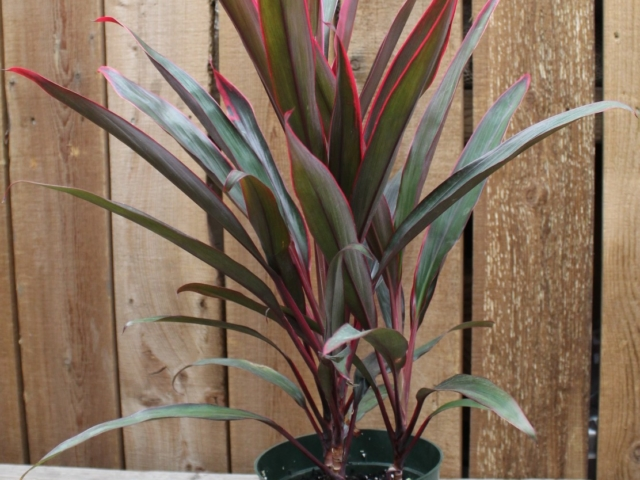 Pink Cordyline at City Floral Greenhouse and Garden Center