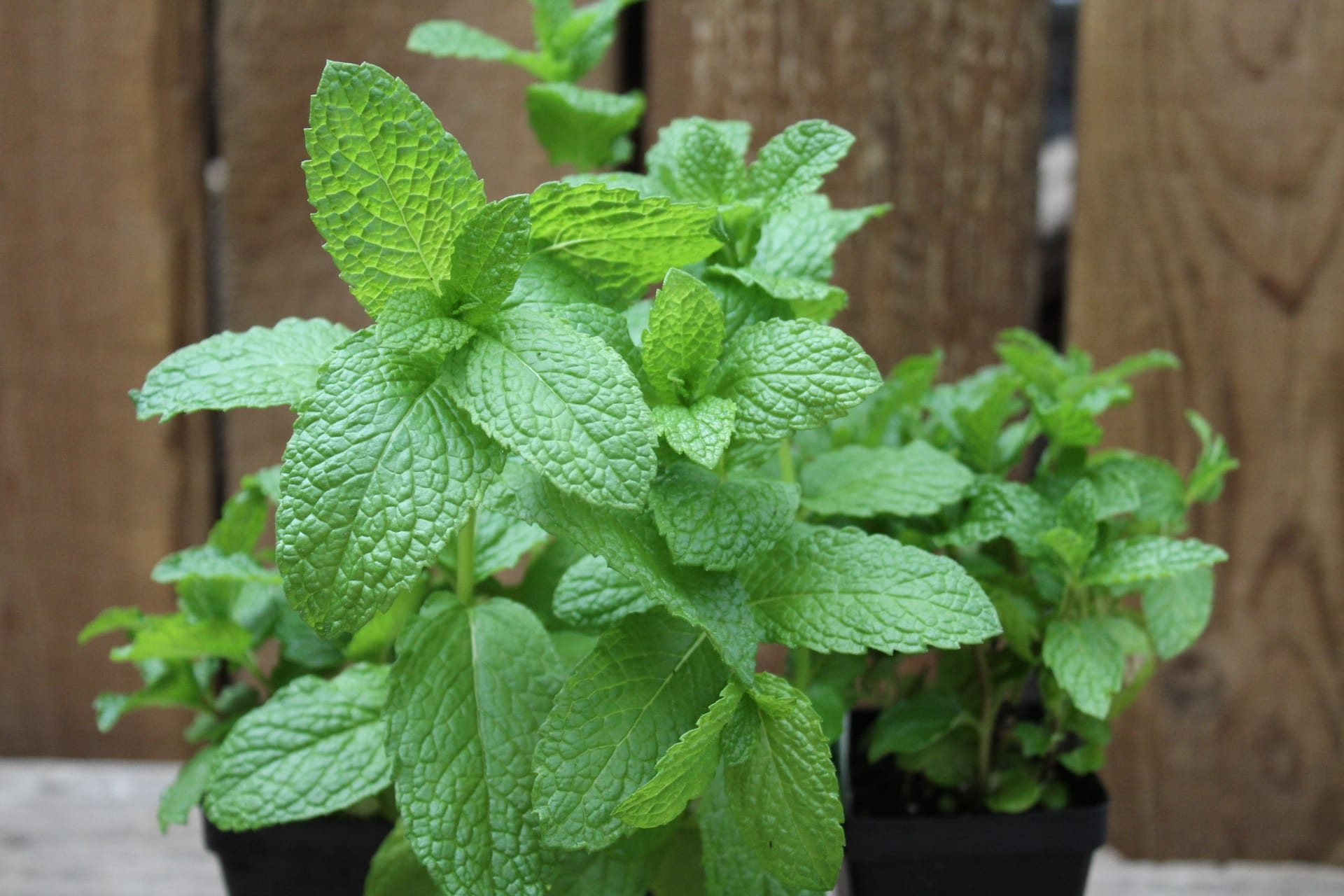 Mint at City Floral Greenhouse and Garden Center