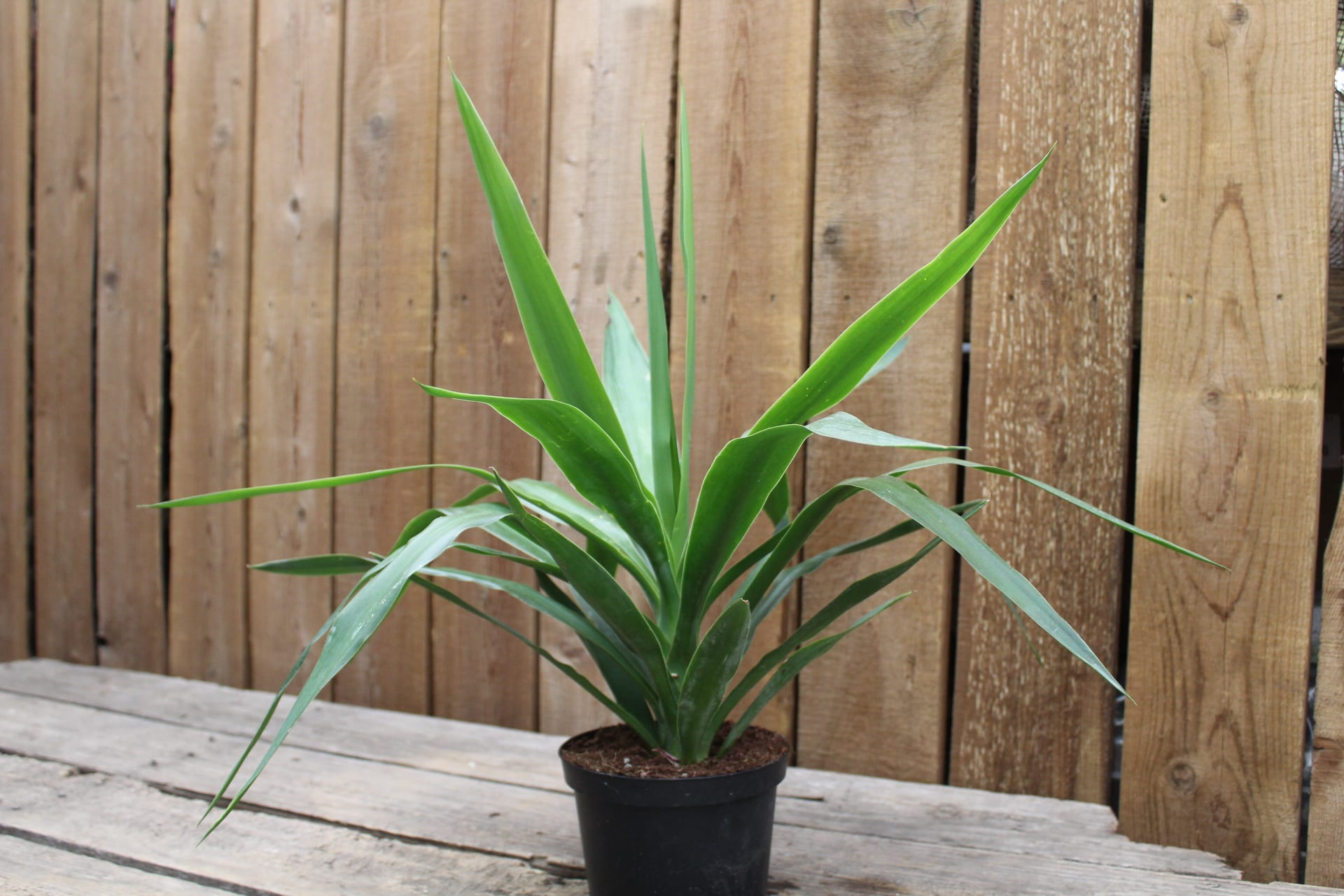 Yucca Tips at City Floral Greenhouse and Garden Center