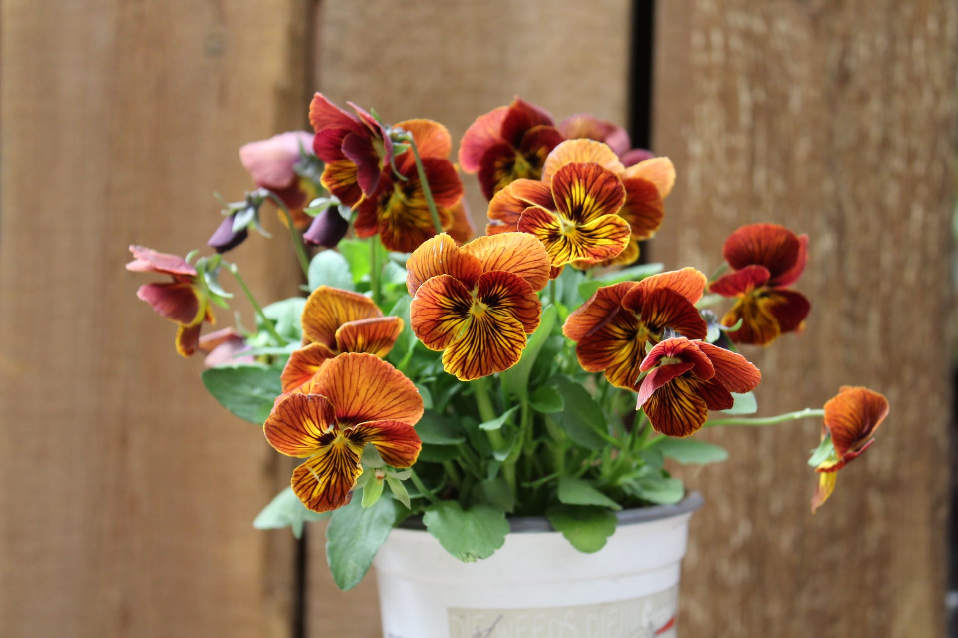 Violas at City Floral Greenhouse and Garden Center