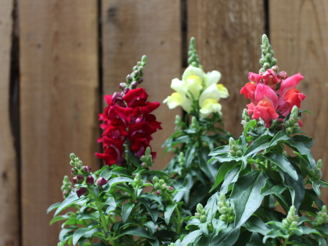 Snapdragons at City Floral Greenhouse and Garden Center