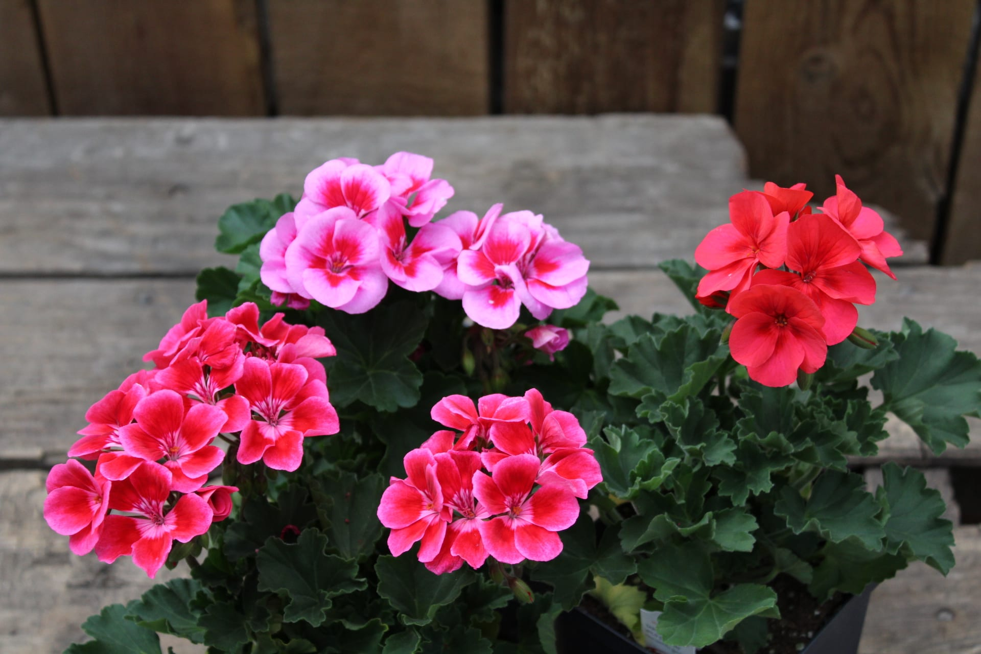 Geraniums at City Floral Greenhouse and Garden Center