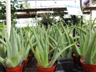 Aloe vera, houseplants, air purifiers, houseplants