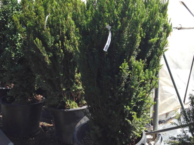 Trees for sale denver Mature