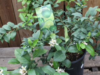 citrus plants at city floral greenhouse and garden center
