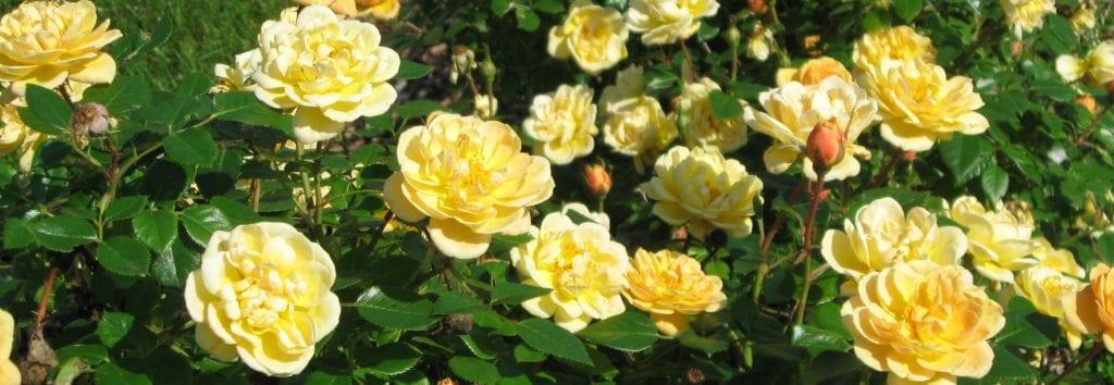 Rose Plants Rose Bushes Denver