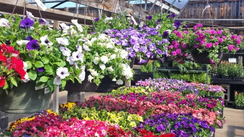 Petunias Care Guide