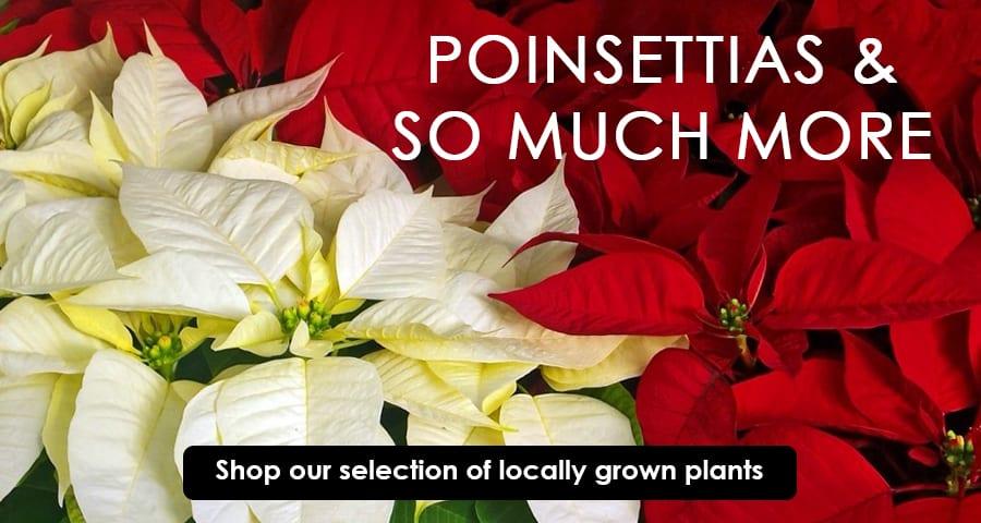 Poinsettias Slider FINAL