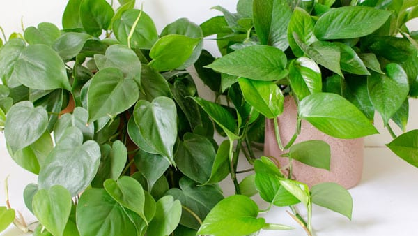 Easy Care Philodendron