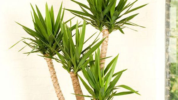 Easy Care Yucca Plants