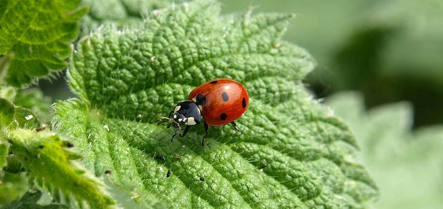 Beneficial Insects Lady Bugs