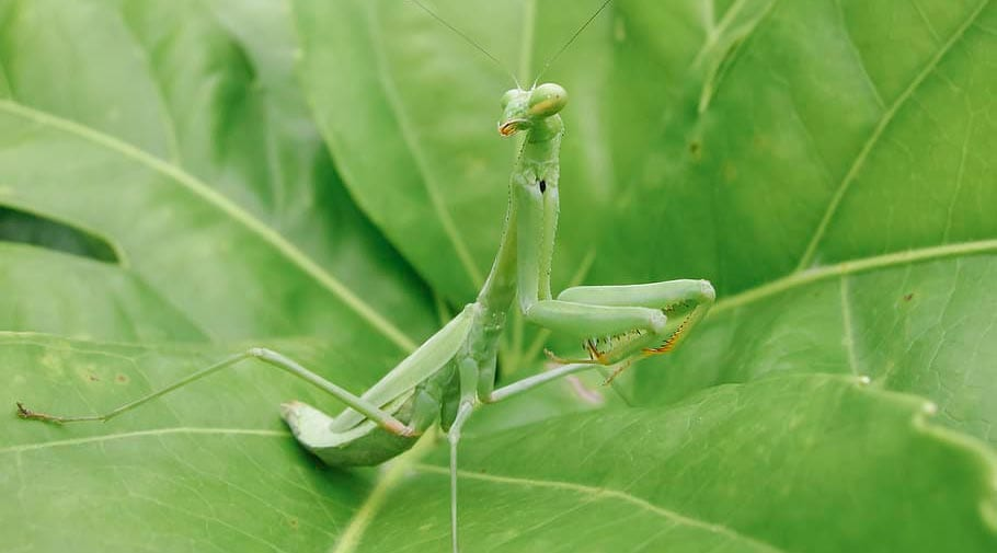 Beneficial Insects Praying Mantis