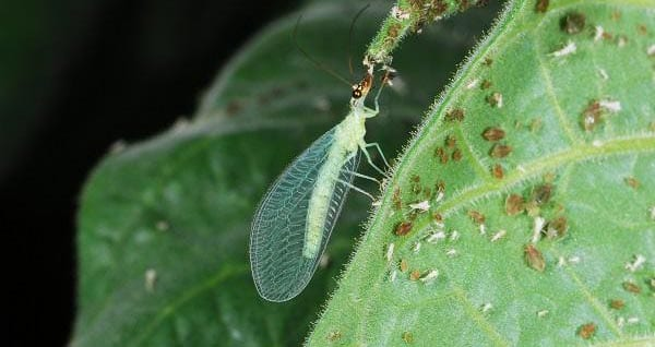 Beneficial Insects Green Lacewing