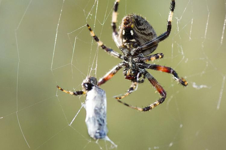 Beneficial Insects Orb Spider