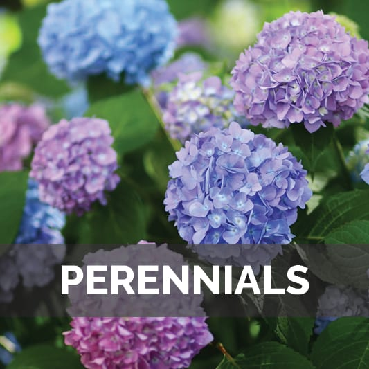 Perennials at City Floral Greenhouse and Garden Center