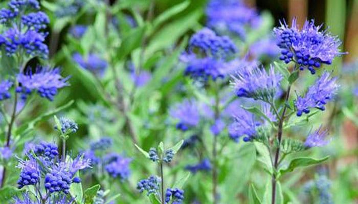 Blue Spirea Plants