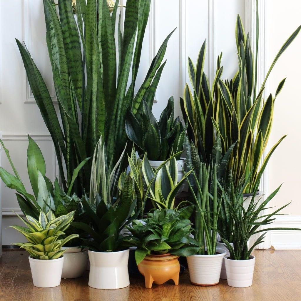 Sansevieria Houseplants