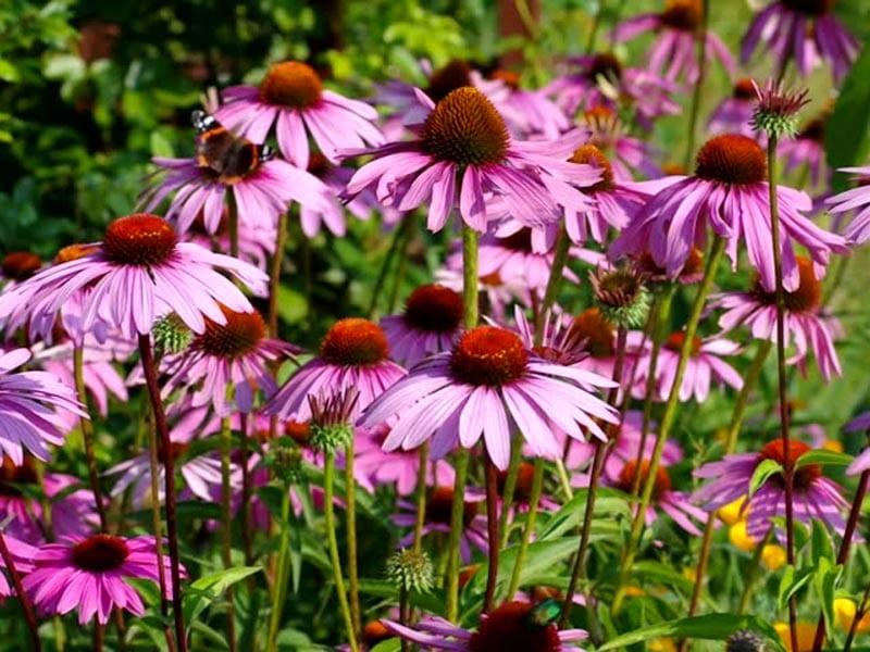 Echinecea Perennials