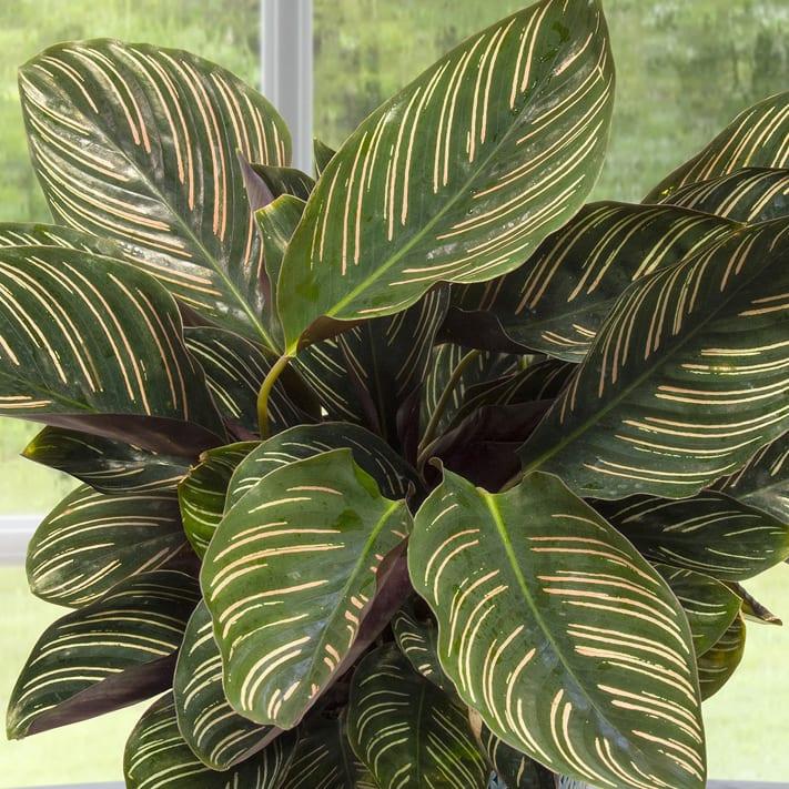 Calathea Houseplants