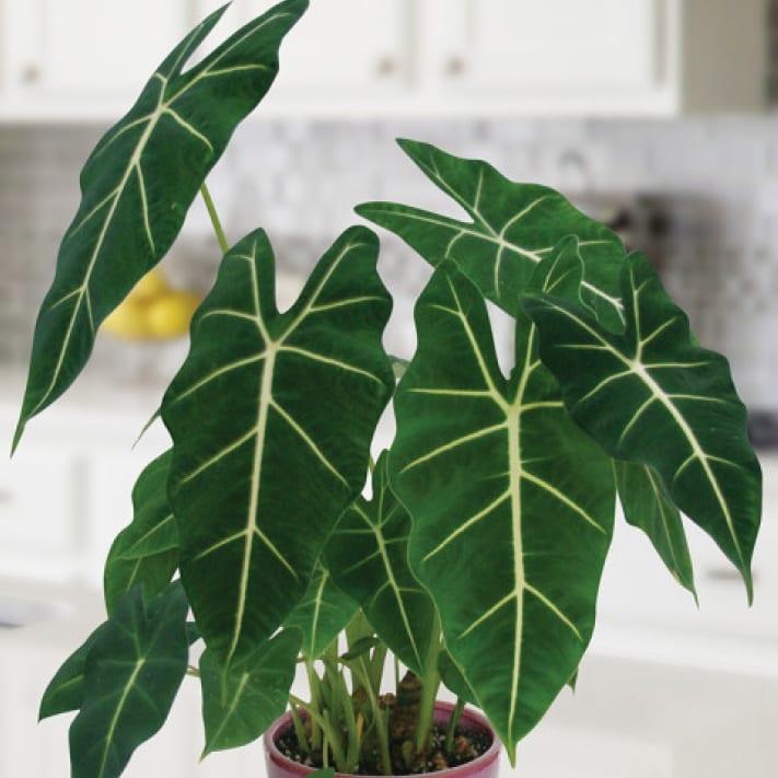 Alocasia Houseplants