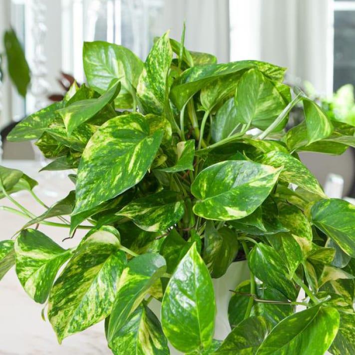 Pothos Houseplants