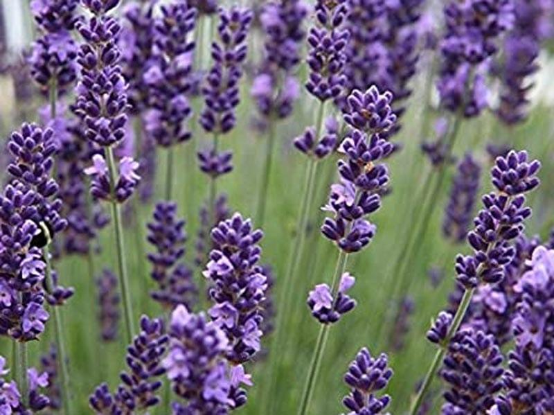Lavender Perennials