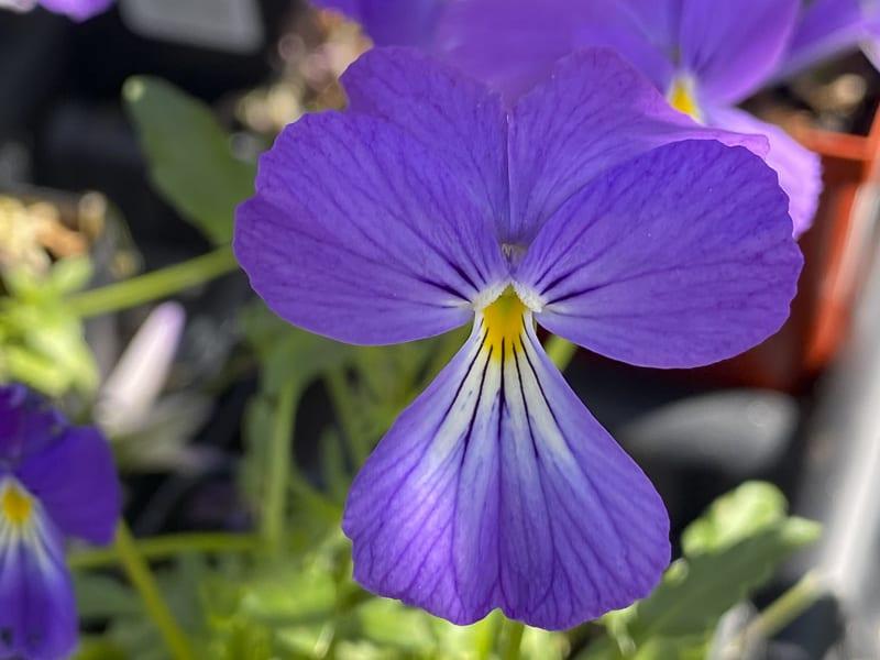 Viola Perennials
