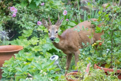 Deer eating plants