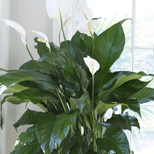 Peace Lily Houseplants