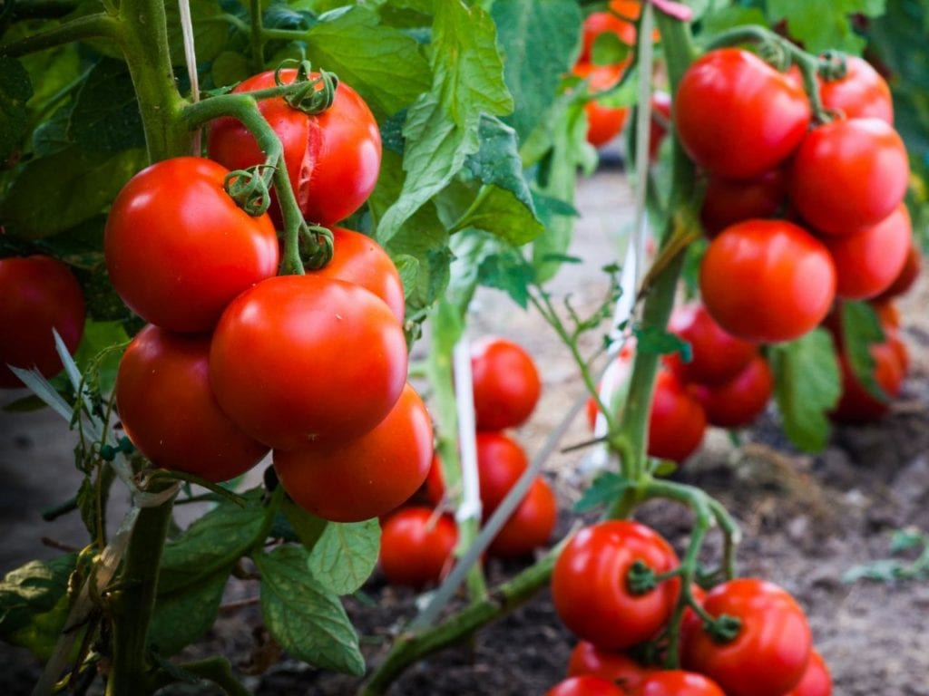 July Gardening coddle your tomatoes