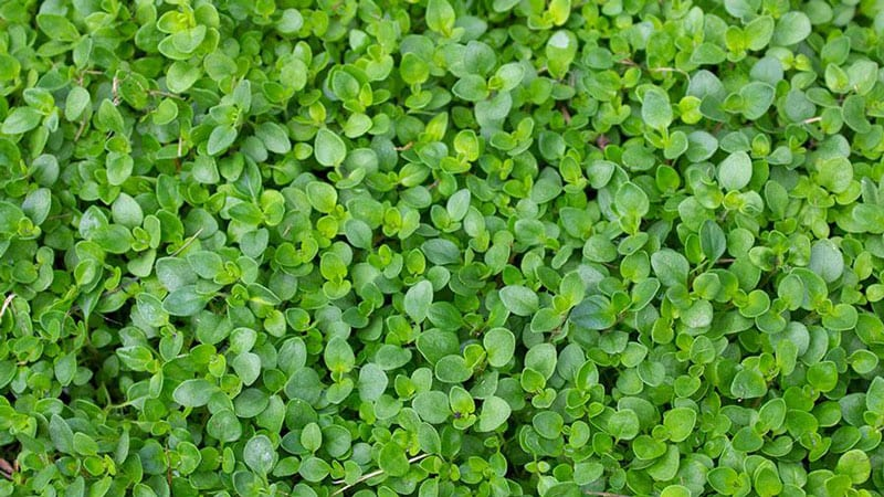 Creeping Thyme is rabbit and deer resistant