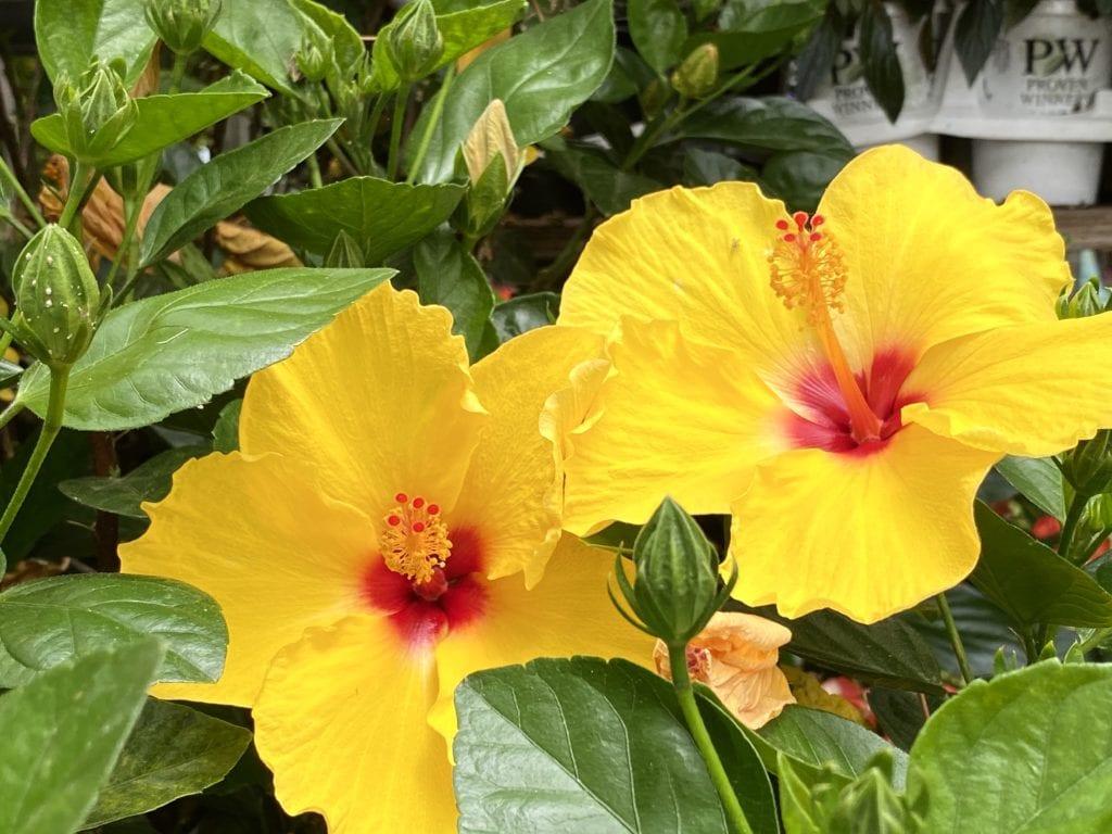 Hibiscus make great houseplants