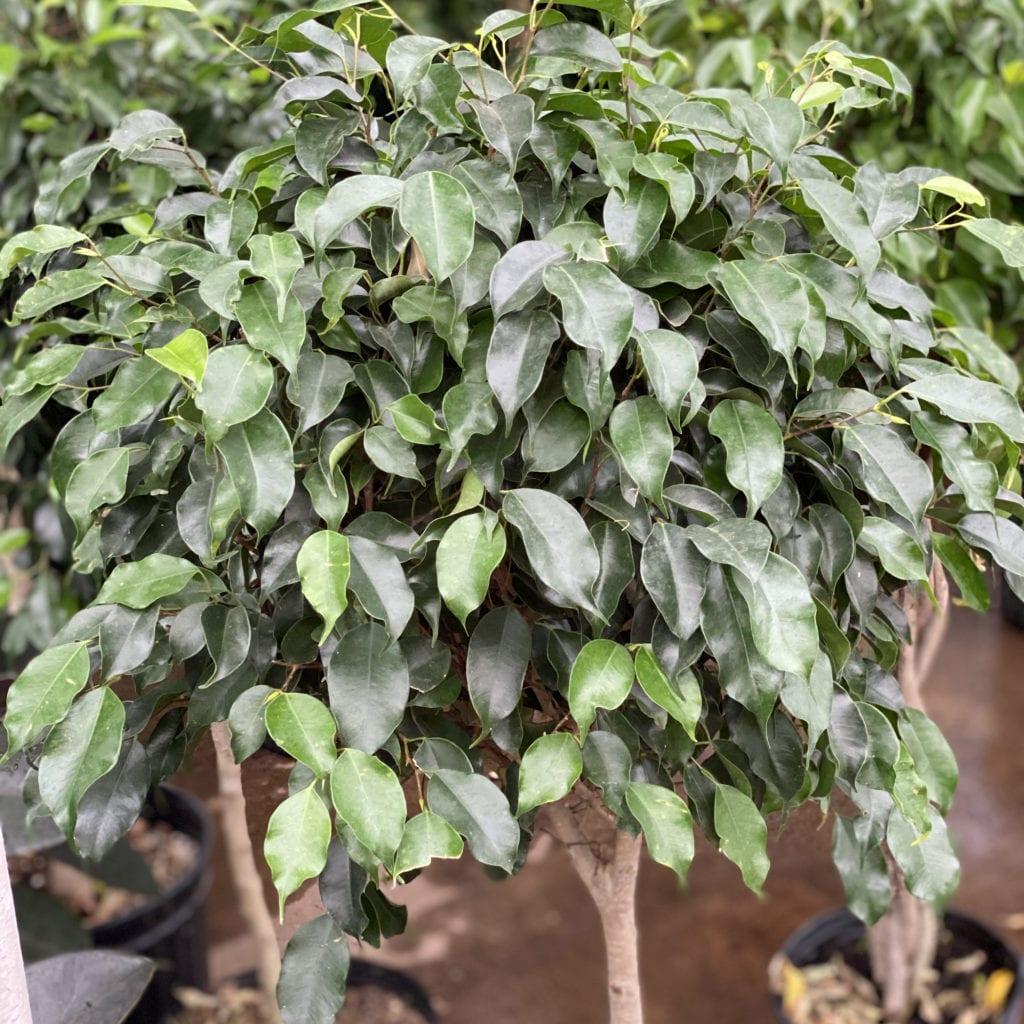 Ficus Houseplants
