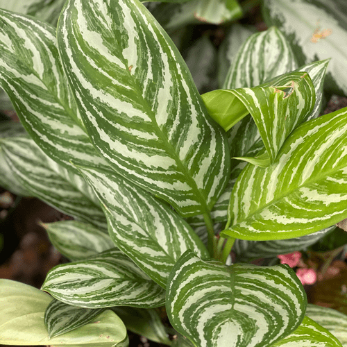 CHINESE EVERGREEN 'STRIPES'