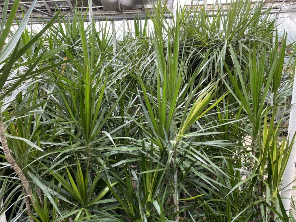 City Floral Dracaena Selection