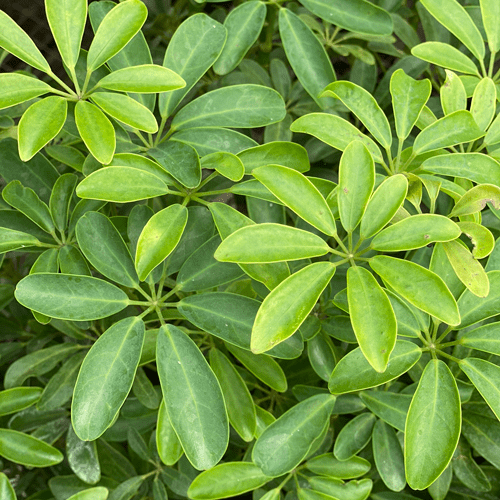 Schefflera Houseplants